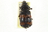 (Nicrophorus marginatus - JBWM0118984)  @11 [ ] CreativeCommons - Attribution Non-Commercial Share-Alike (2014) BIO Photography Group Biodiversity Institute of Ontario