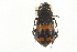 (Nicrophorus mexicanus - JBWM0118980)  @11 [ ] CreativeCommons - Attribution Non-Commercial Share-Alike (2014) BIO Photography Group Biodiversity Institute of Ontario