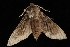  (Lapara bombycoides - Moth4360.03)  @14 [ ] CreativeCommons - Attribution Non-Commercial Share-Alike (2010) Unspecified Biodiversity Institute of Ontario
