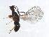 (Blastophaga javana-HIR - HIR-BLA.1-FJ-4)  @14 [ ] CreativeCommons - Attribution Non-Commercial Share-Alike (2008) Unspecified Biodiversity Institute of Ontario