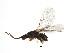 (Blastophaga sp. 1-ERE - ERE-BLA.1-FJ-9)  @15 [ ] CreativeCommons - Attribution Non-Commercial Share-Alike (2008) Unspecified Biodiversity Institute of Ontario