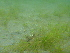 (Zostera japonica - CCDB-23363-H11)  @11 [ ] CreativeCommons – by-nc-sa (2014) Unspecified Archipelago Marine Research Ltd.